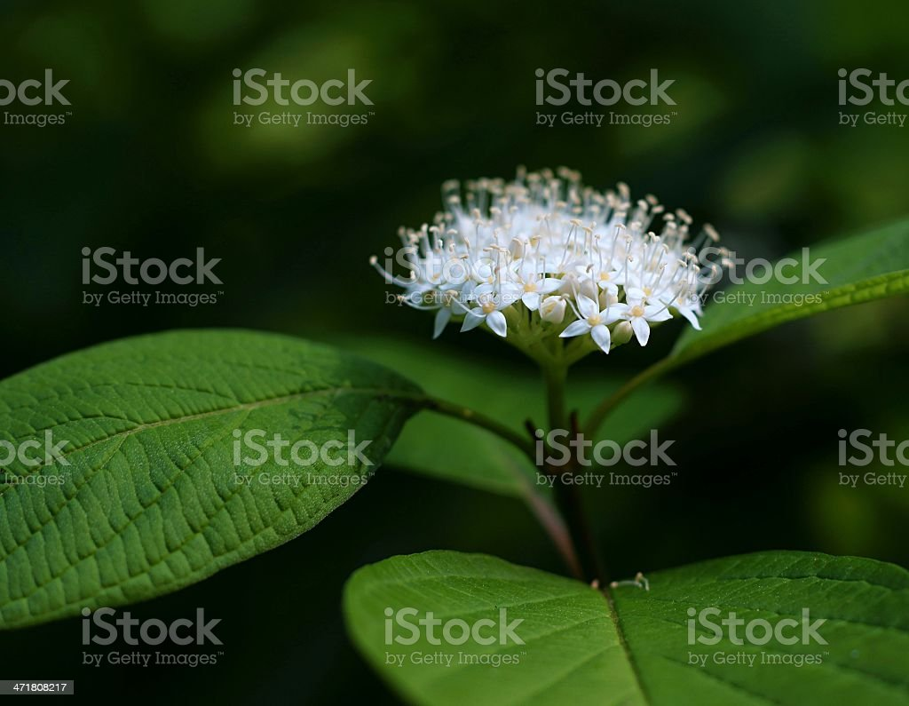 White flower with green leaves royalty-free stock photo