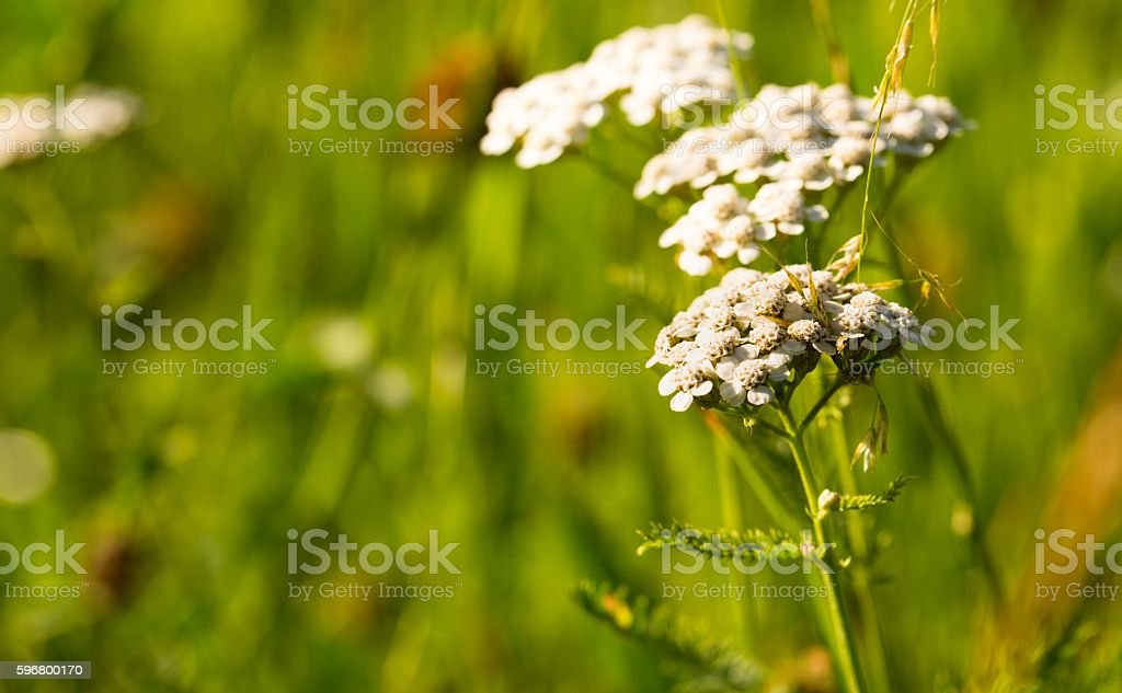 White flower with many blooms on green meadow stock photo