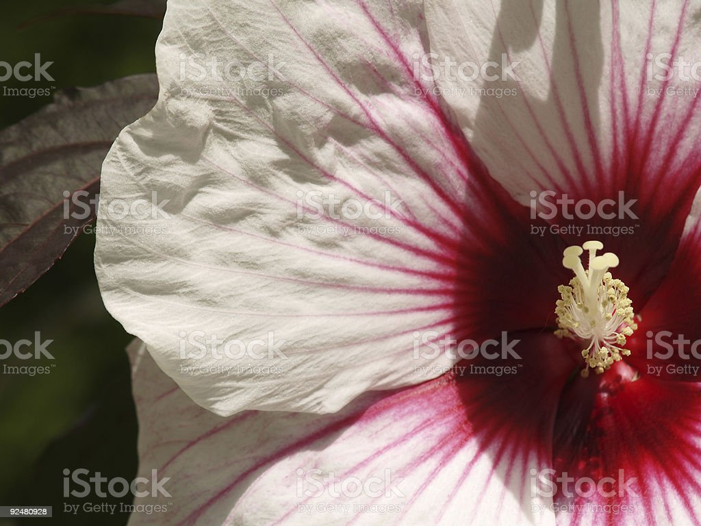 White flower with Red Eye royalty-free stock photo