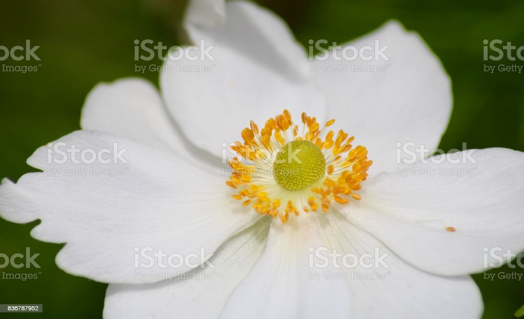 White Flower with yellow bits surrounding a green centre stock photo