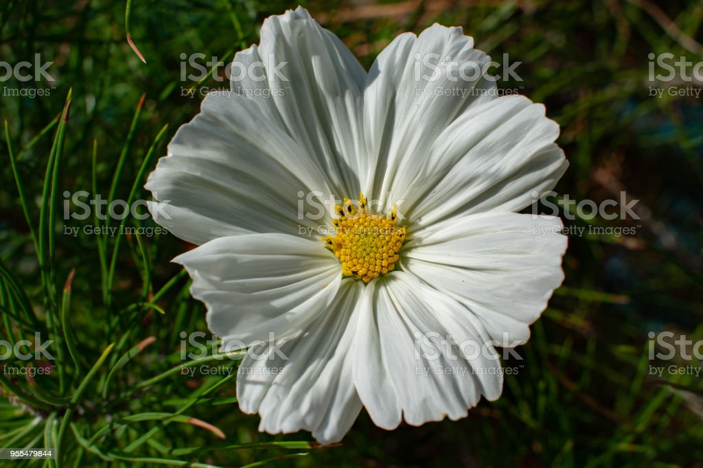 white flower with yellow center with grass stock photo
