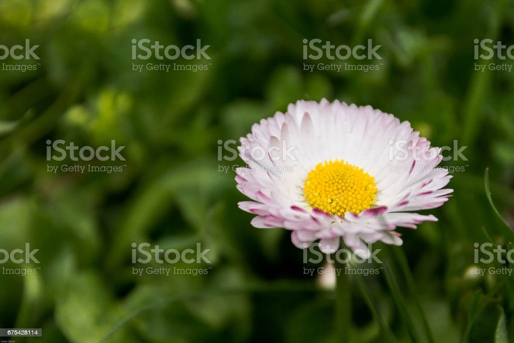 White flower with yolk. White flower with red edges. stock photo