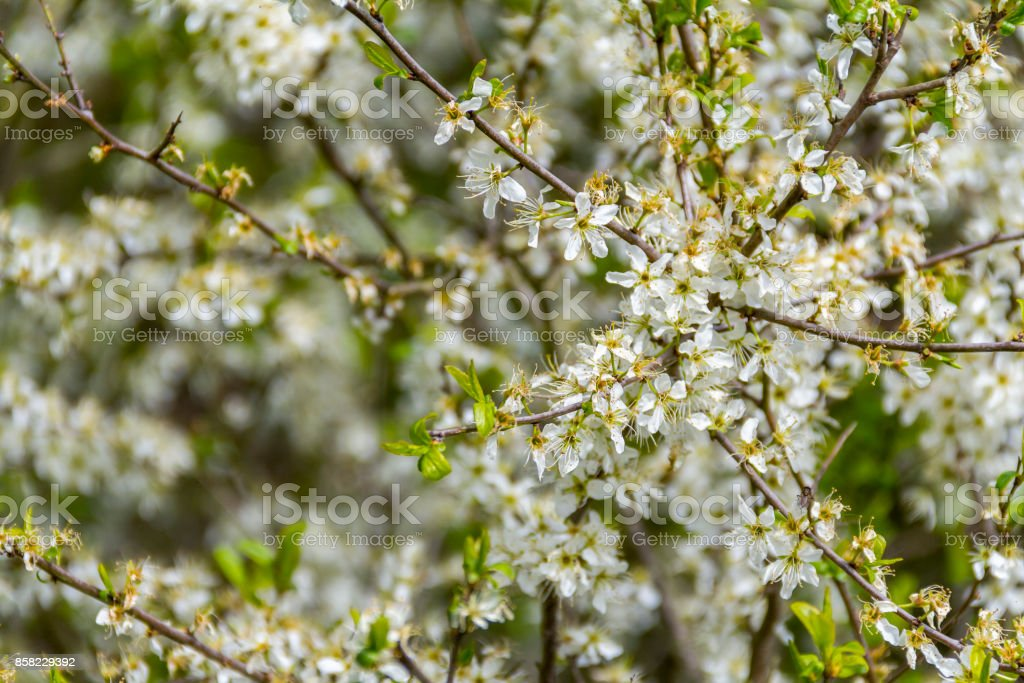 white flowering bush closeup stock photo