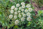 Closeup of a white flowering cow parsley or Anthriscus sylvestris plant growing in the wild nature in the Netherlands. It is summertime now.