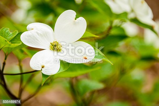 White flowering dogwood blossom