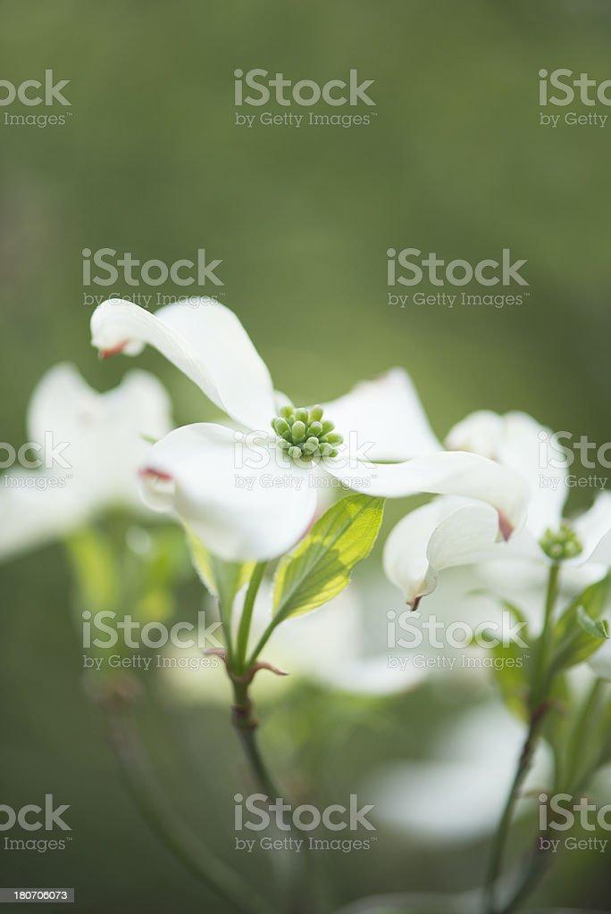 White flowering dogwood tree flower blossom stock photo