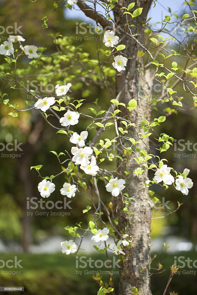White Flowering Dogwood Tree Japan Stock Photo More Pictures Of