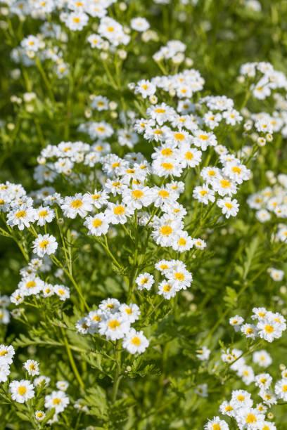 weiße blühende Fieber- oder Junggesellenknöpfe (Tanacetum parthenium) mit Stiel und Blättern im Freien im Garten – Foto