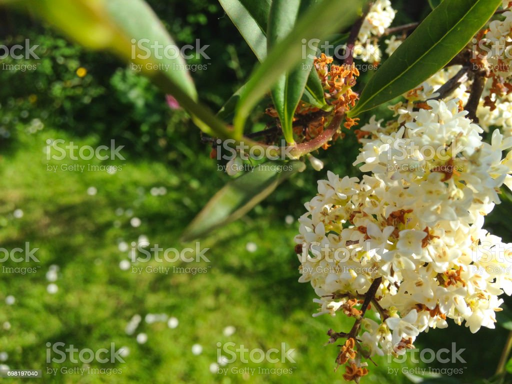 White Flowering Tree In The Garden Stock Photo More Pictures Of