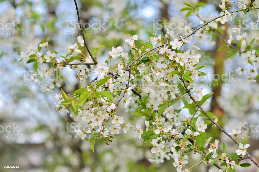 White Flowering Trees In The Spring Stock Photo More Pictures Of