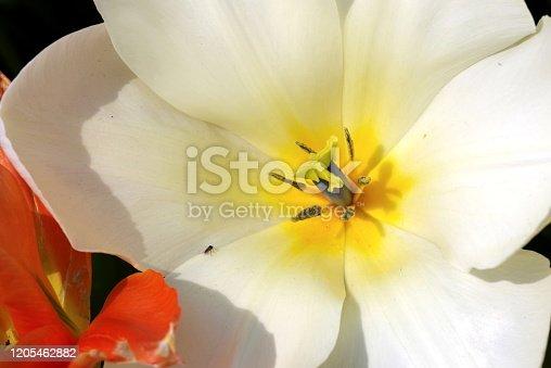 Makro-Objektiv, Stativ, 2 Blitzgeräte, Aufhellfolie, UV-Filter,  tulipa, leicht giftige Pflanze,