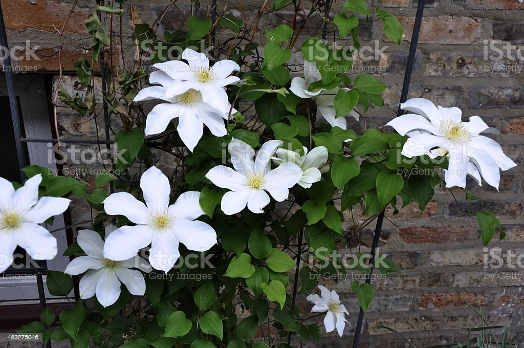 White flowers against a brick wall stock photo