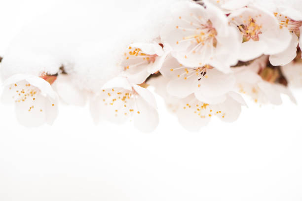 White flowers, almond flowers in white background. stock photo