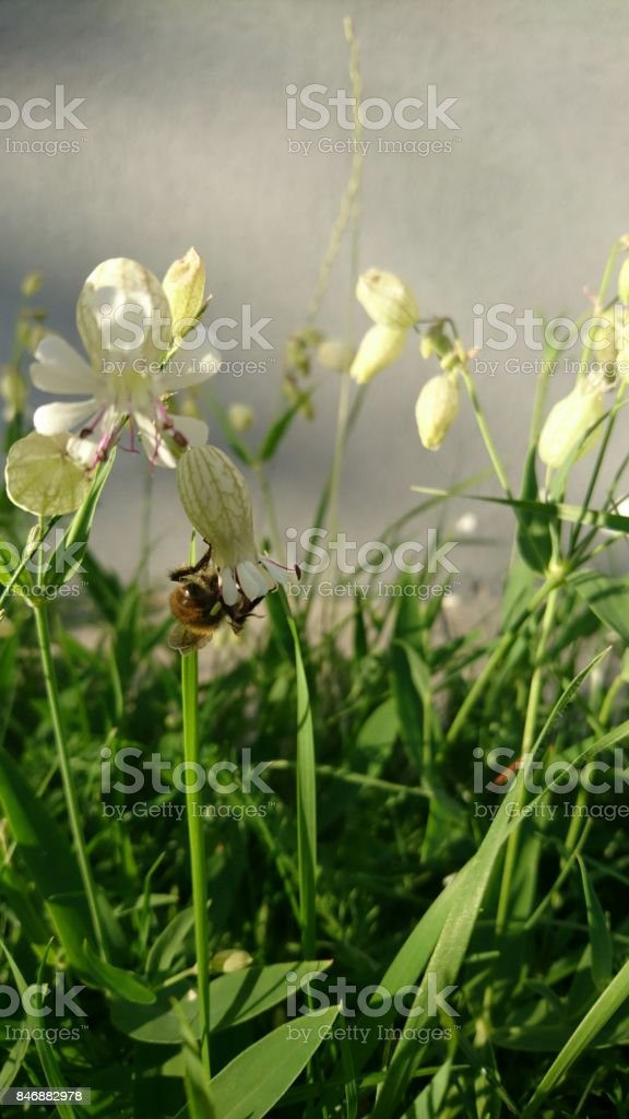White flowers and bee on its stock photo