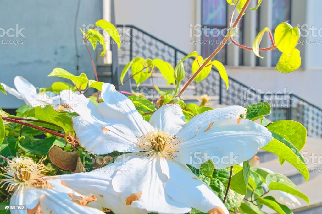 White flowers and forged banisters. Steps to modern church royalty-free stock photo