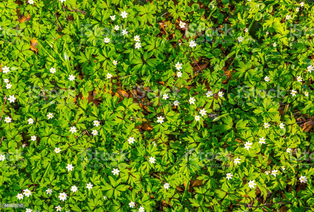 white flowers and green grass texture top view. royalty-free stock photo