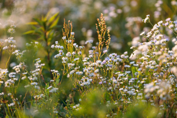 white flowers and other herbs in a meadow stock photo