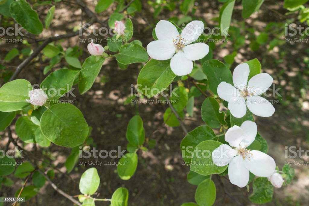 White flowers and pinkish closed flower buds of quince stock photo