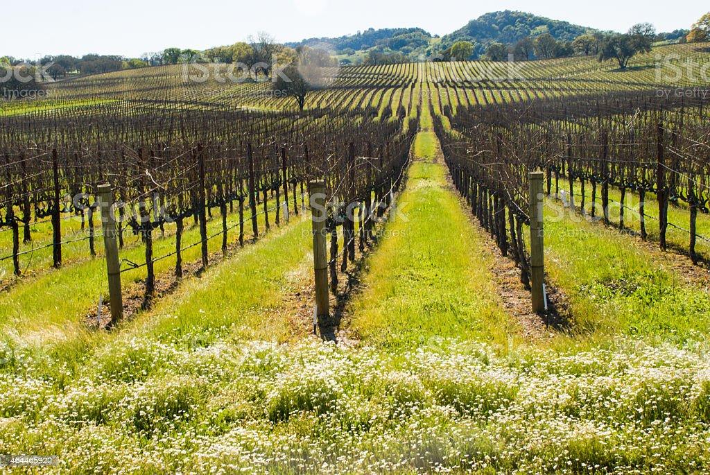 Weiße Blumen Und Weinberge Alexander Valley Und Sonoma County ...