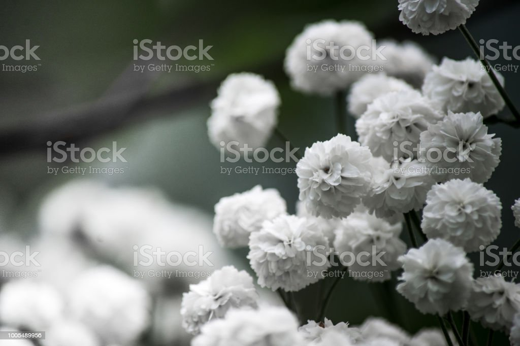 white flowers are photographed close-up for decoration stock photo