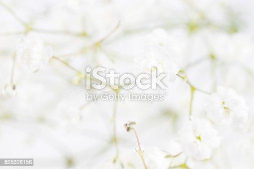 652288118istockphoto White flowers background (gypsophila paniculata), blurred 825328156