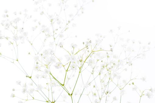 652288118 istock photo White flowers background (gypsophila paniculata), blurred 840918746