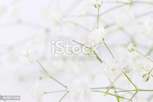 652288118istockphoto White flowers background (gypsophila paniculata), blurred 843827046