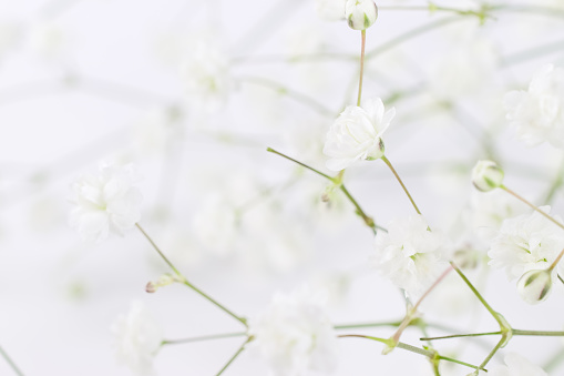 652288118 istock photo White flowers background (gypsophila paniculata), blurred 843827046