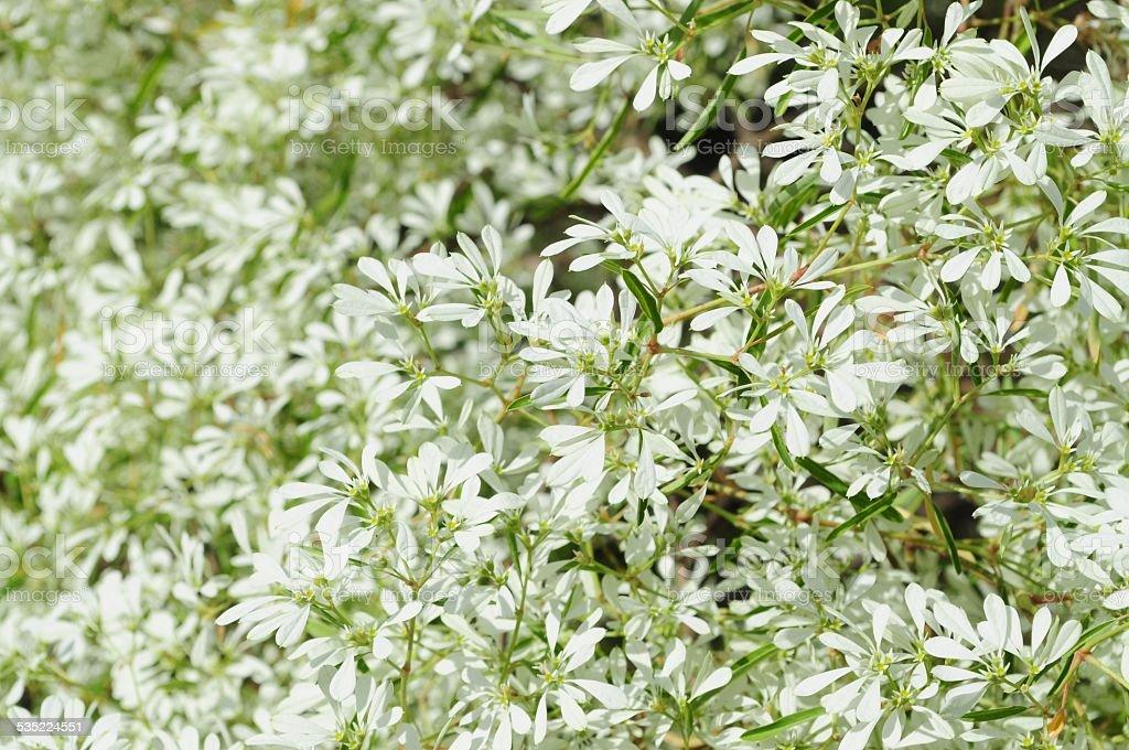 White Flowers Background Euphorbia Leucocephala Lotsy Stock Photo