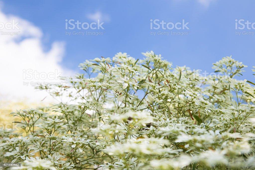 Weiße Blumen Hintergrund  Lizenzfreies stock-foto