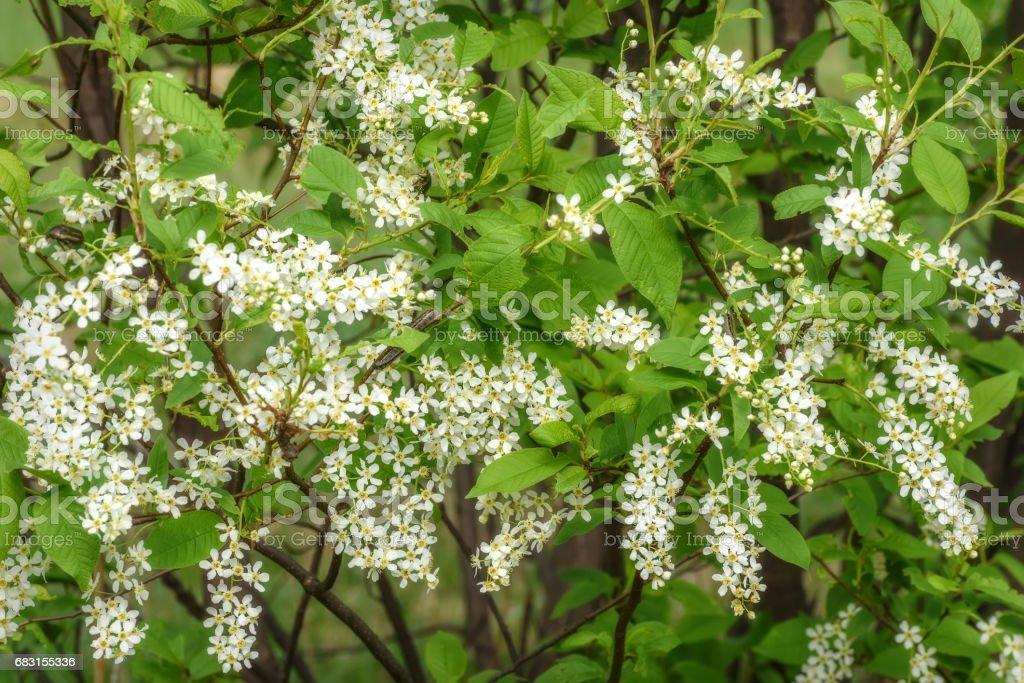 white flowers bird-cherry background royalty-free 스톡 사진