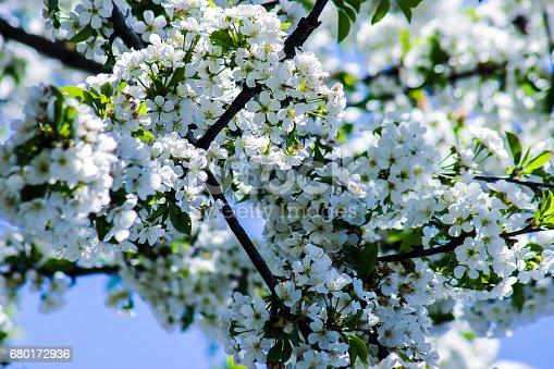 istock White flowers blooming cherry 680172936