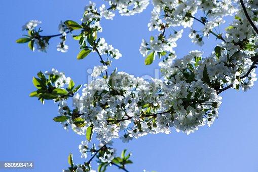 istock White flowers blooming cherry 680993414