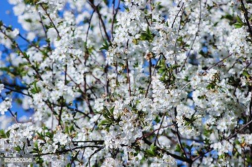 istock white flowers blooming cherry 686350398