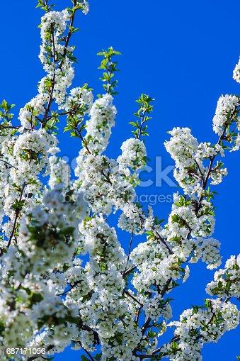 istock white flowers blooming cherry 687171056