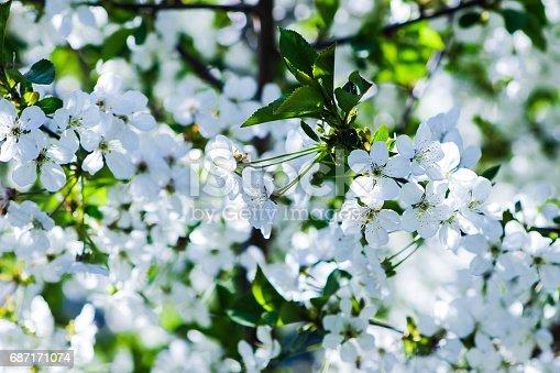 istock white flowers blooming cherry 687171074