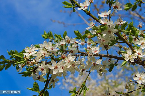 istock White flowers blooming on the branch of wild fruit tree closeup against blue sky 1278909489