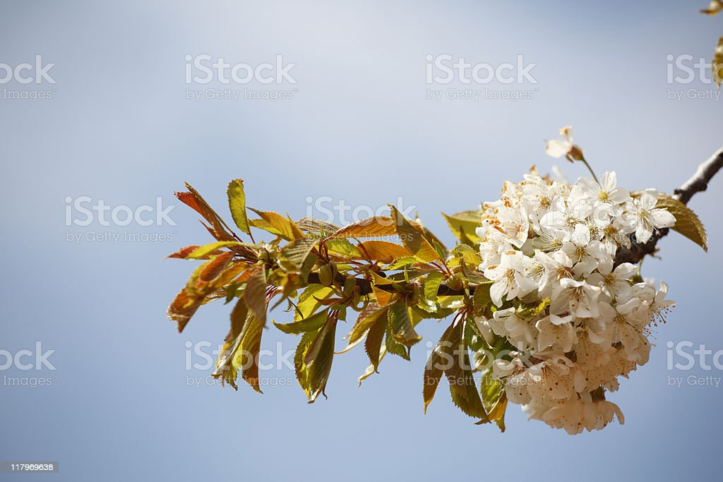 White flowers blossom royalty-free stock photo