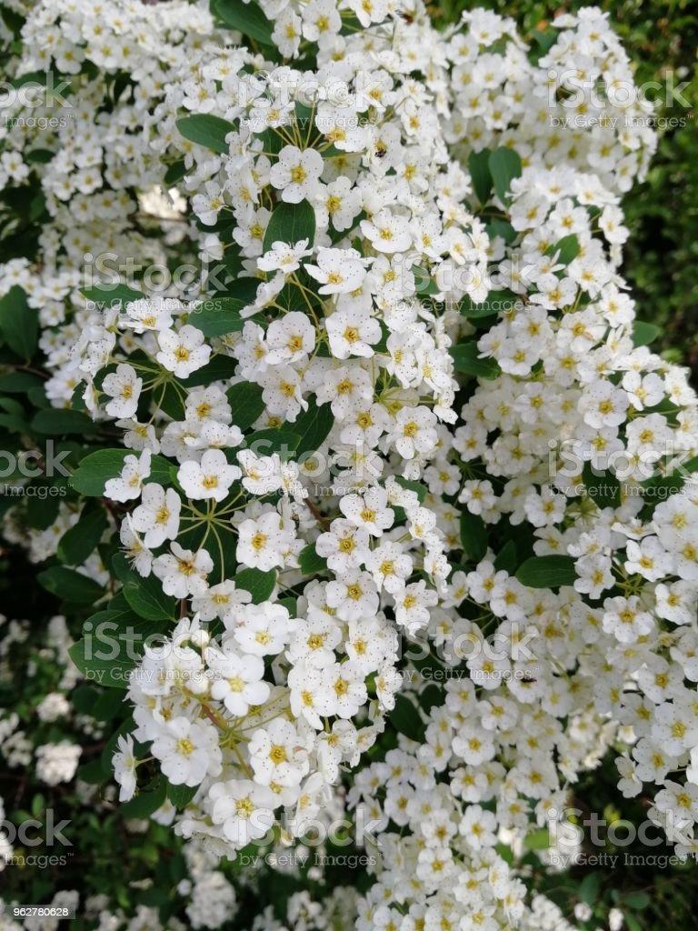 White flowers closeup a bush of white flowers stock photo more white flowers close up a bush of white flowers royalty free mightylinksfo