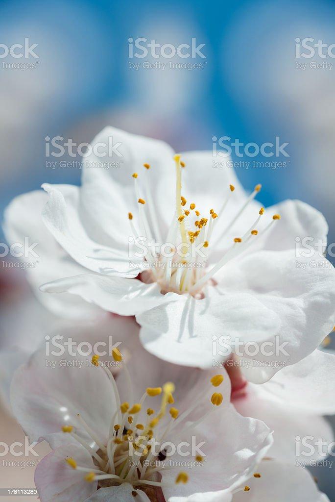 White flowers close-up photo royalty-free stock photo