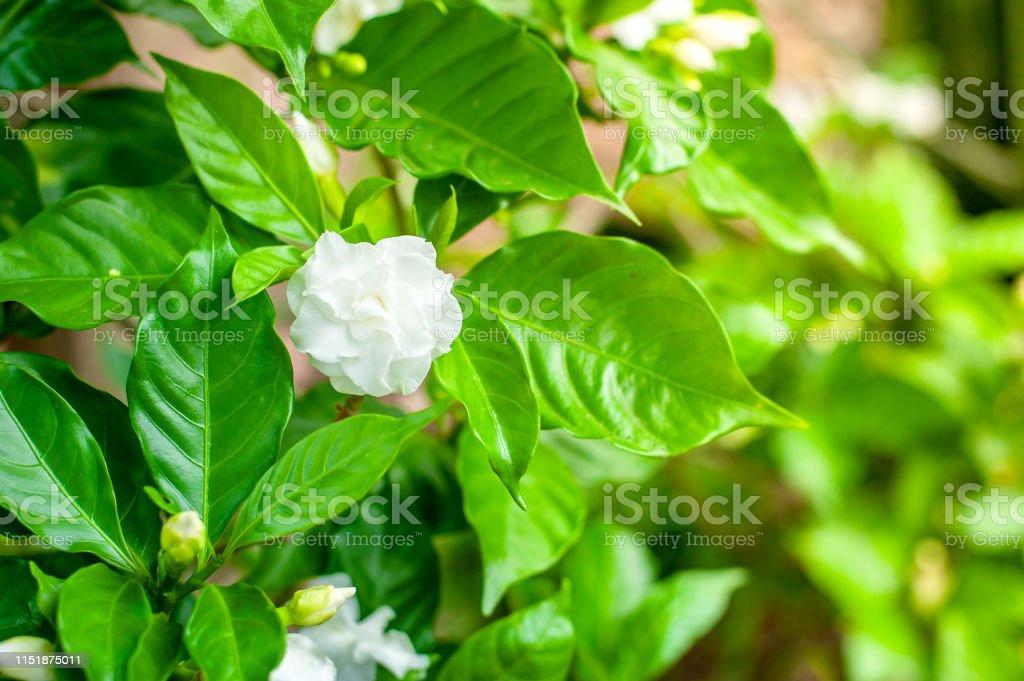 white flowers, Gardenia jasminoides foliage and flower With the sun...
