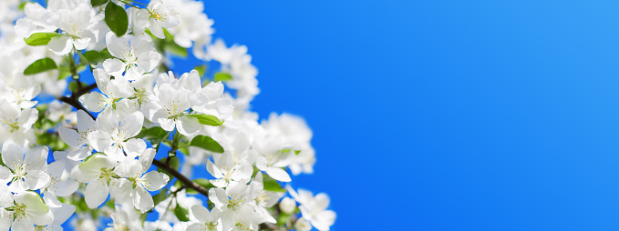 White flowers green leaves blooming apple tree branch close up, blue sky background, beautiful cherry blossom, floral corner border, nature frame, spring season orchard, fruit garden bloom, copy space