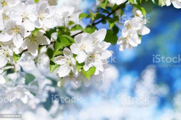 Photo of White flowers green leaves blooming apple tree branch soft focus close up, blue sky blurred bokeh background, beautiful spring blossom, delicate floral nature, springtime orchard, fruit garden bloom