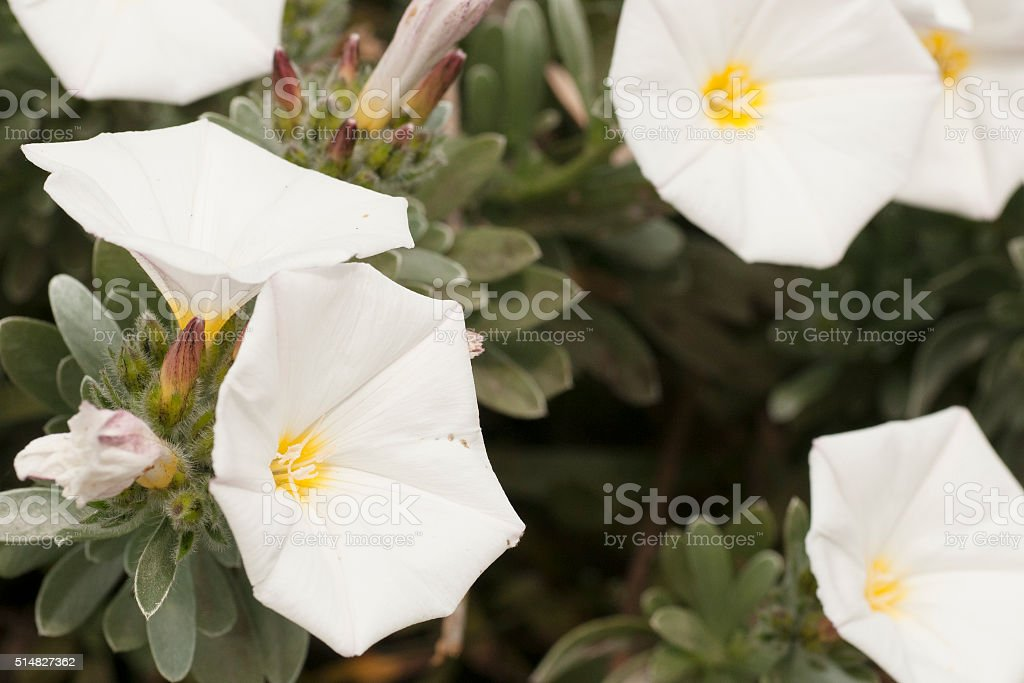 white flowers grown in the country in the spring stock photo