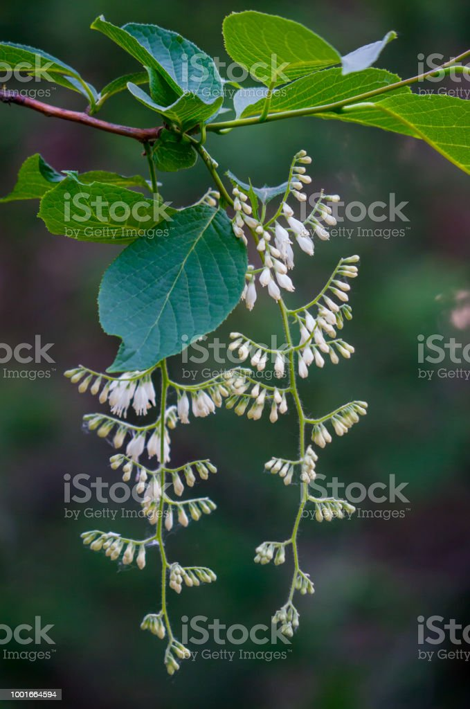 White flowers hanging from the branches of a tree stock photo more white flowers hanging from the branches of a tree royalty free stock photo mightylinksfo