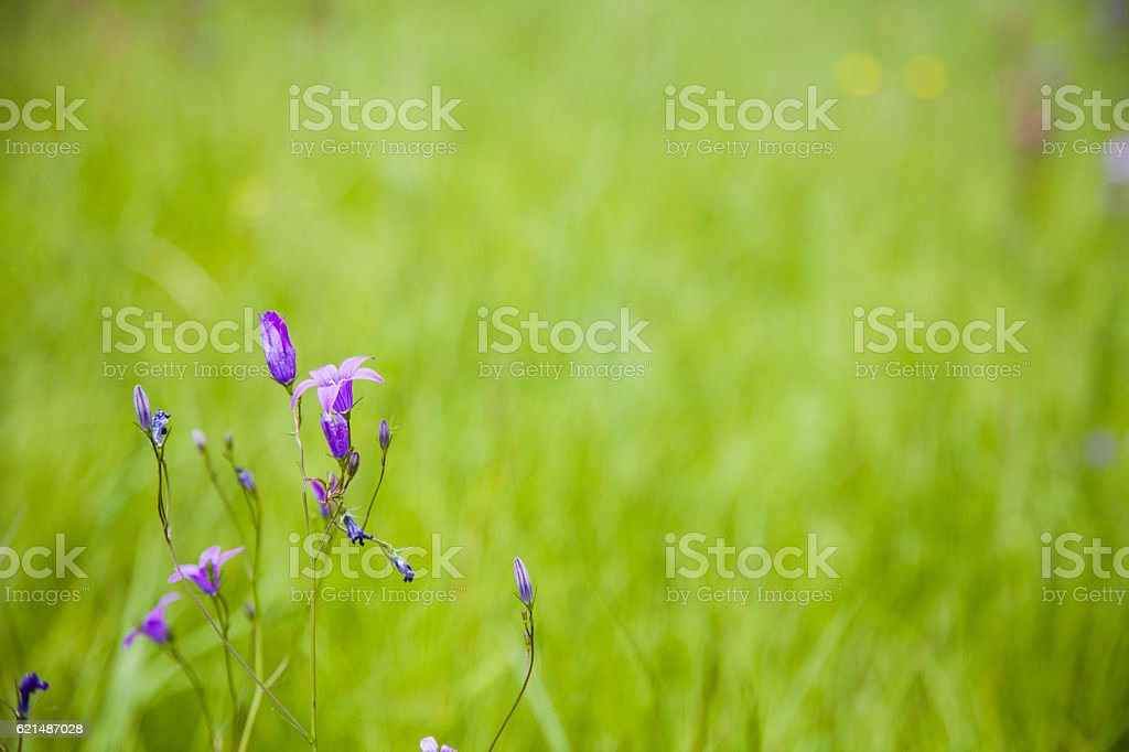 White flowers in a meadow foto stock royalty-free