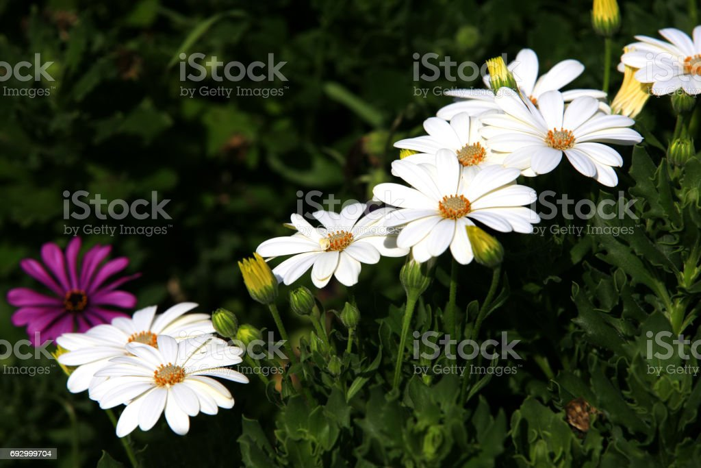 White flowers in grass field with green background stock photo