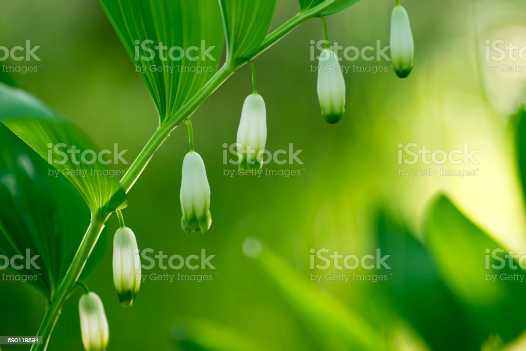 white flowers in spring forest - King Solomon's seal stock photo
