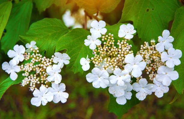 weiße Blüten, Blütenstände von weißen Viburnum Blumen auf dem Baum, Viburnum – Foto