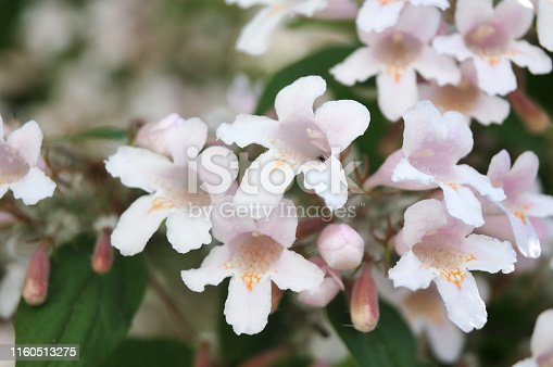 close-up of bell shaped flowers of linnea amabilis, the beauty bush in spring